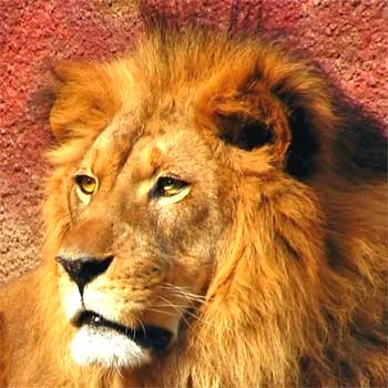 Selbstbewusstsein eines Löwen